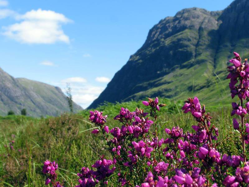 Bell Heather