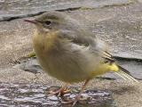 Wagtail Fledgling