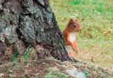 Squirrel having a wee look around