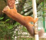 Squirrel stealing peanuts