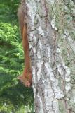 Squirrel hanging upside down eating