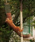 Squirrels hanging from Feeder