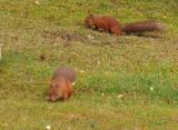 two Squirrels on grass