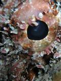 scorpionfish eye detail
