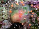 Orange Ball Corallimorph Budding