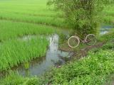 Rice and bike in the North
