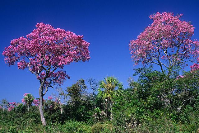 Ipês roxos no pantanal-MS