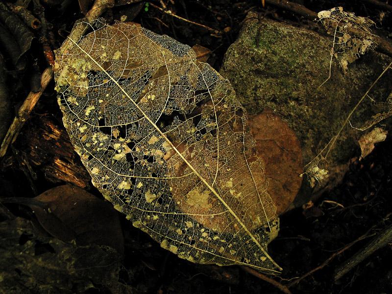 golden leaf skeleton