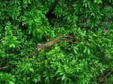 iguana in the canopy
