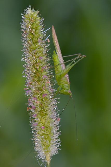Grasshopper on Seedhead