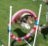 Mickey, my agility dog