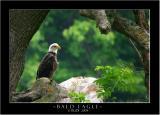 Bald Eagle - White City Road 2.jpg