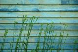 2005-06-27: clapboard and day lilies