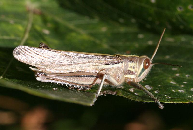 Grasshopper 17
