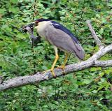 Black-crowned Night Heron with fish