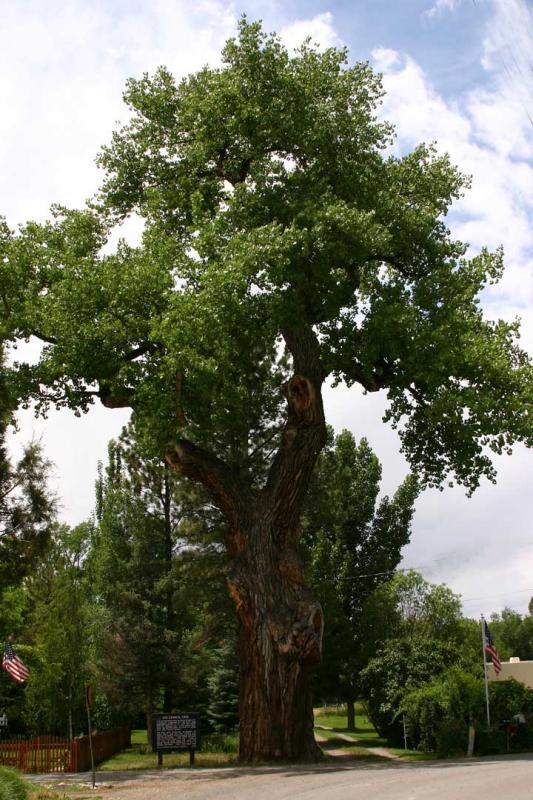Historic Ute Council Tree