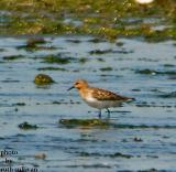 Red-necked Stint(slightly enlarged and enhanced than following photo)