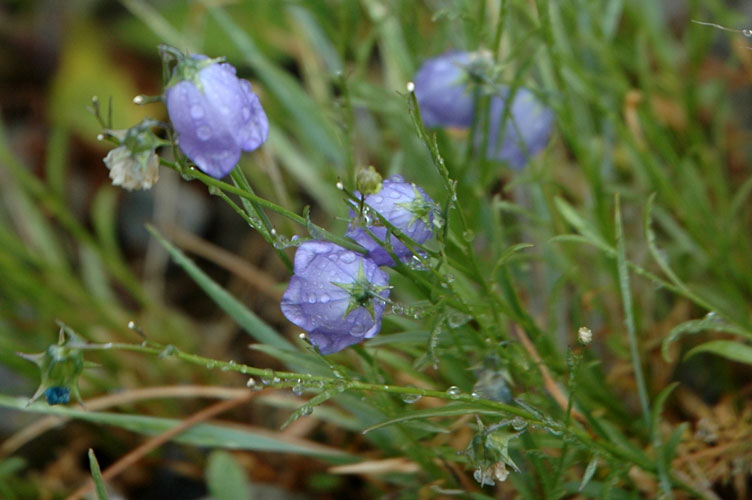 Another Soggy Blue Bell