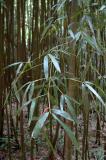 Leafy Bamboo