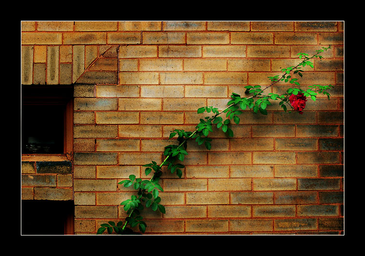 Rose on the wall