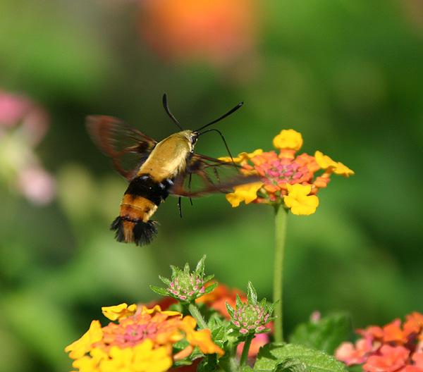 0069 hummingbird moth 8-28-05.jpg