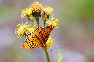 Fritillary (pos. Zerene) butterfly on silvercrown