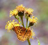 Fritillary (pos. Zerene) butterfly on silvercrown