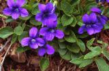 Blue violet, Viola adunca