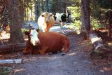 Cattle on Surprise Lake trail