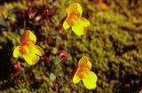 Seep or Yellow monkeyflower, Mimulus guttatus