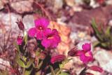 Pink monkey-flower, Mimulus lewisii