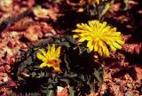 Hawksbeard, Crepis sp.