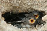 Bank Swallow Riparia Riparia