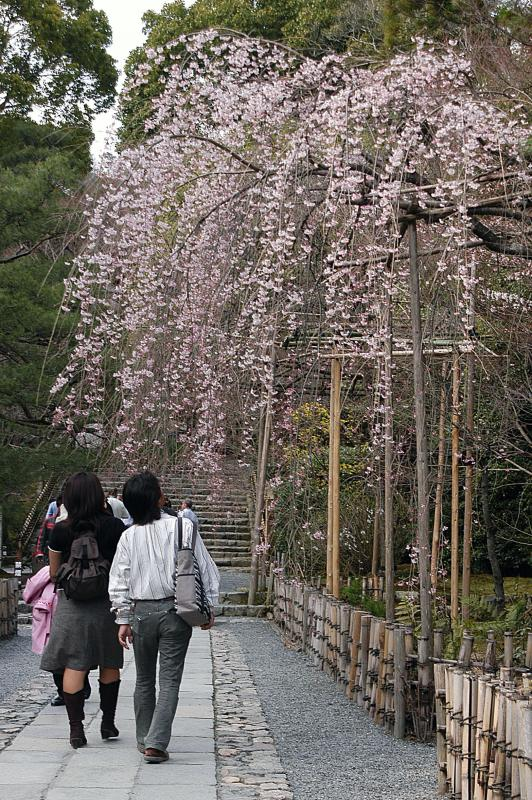 Cherry Blossoms - Philosophers Walk/ Kyoto