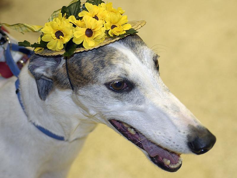 Greyhound in Hat