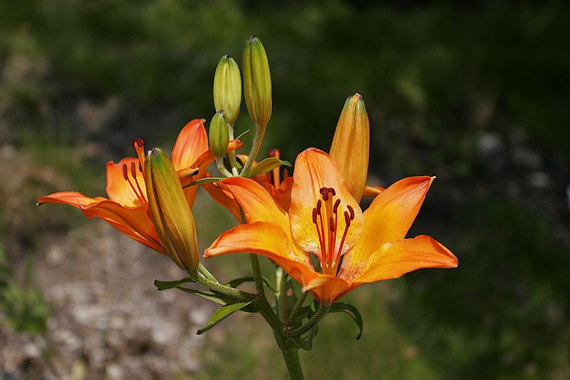 Feuer-Lilie (Lilium bulbiferum) 2