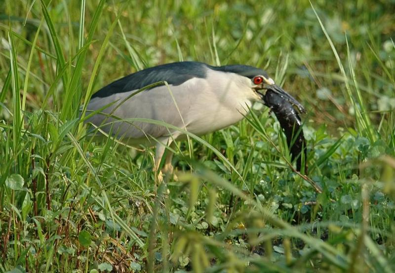 Black Crowned Night Heron  DSC_2864