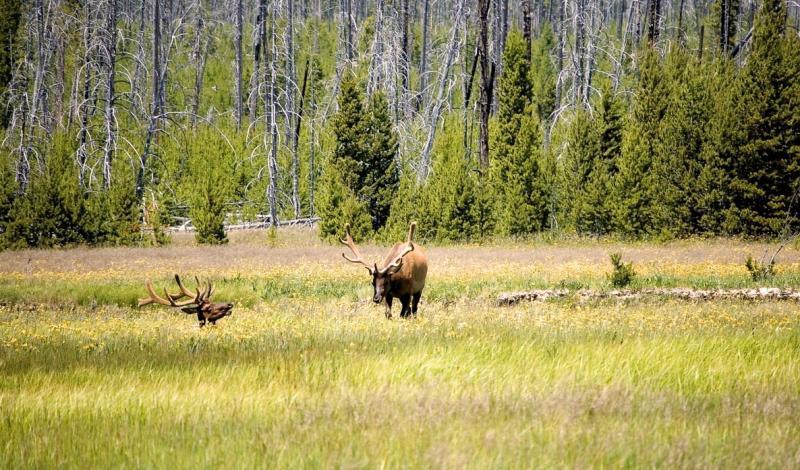 Yellowstone  Bull Elk                                                                                DSC_2718