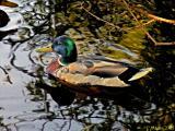 Mallard in Shoeburyness Park