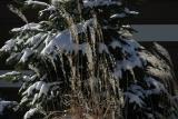 ex snow ice on evergreen and tall grass 0251.jpg
