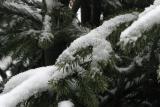 ex snow on evergreen close up 2068.jpg