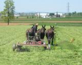 Amish Cutting Hay