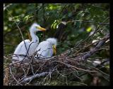 Egret Chicks 01 Aug05