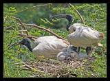 Ibis Family 02 Aug05