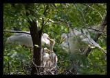 Egrets Feeding Aug05
