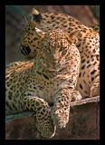 Leopards 1 Oct 05