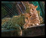 Leopards 2 Oct 05