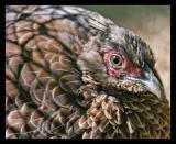 Pheasant Oct 05