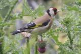 Carduelis carduelis European goldfinch Putter (Distelvink)