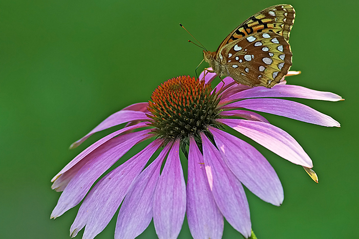 butterfly on a cone flower2.jpg